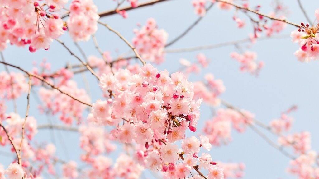 Maximización del cuajado y floración del Cerezo