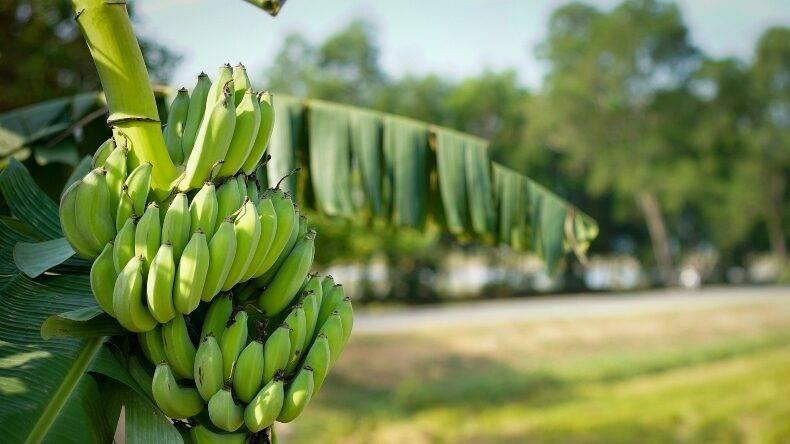 XVII International Banana Convention 2020