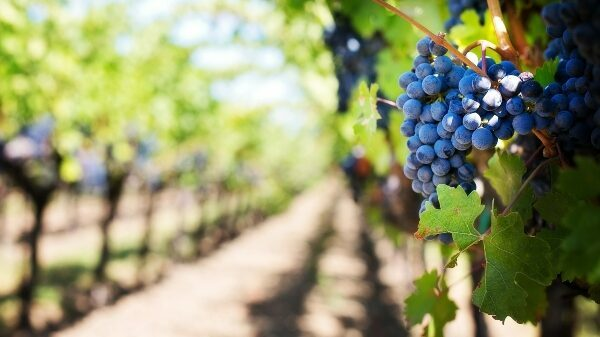 2020 San Joaquin Valley Virtual Grape Symposium