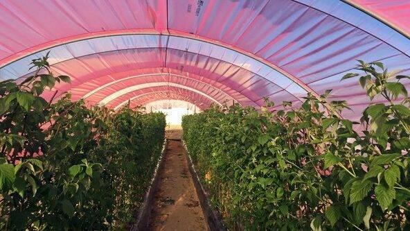 ¿Cómo optimizar la luz solar en su cultivo de frambuesas para mejorar los rendimientos?