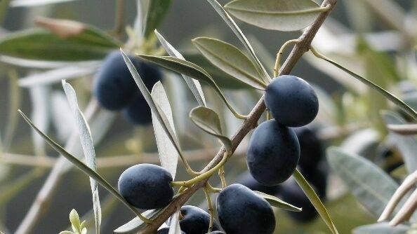 Soluciones de alta rentabilidad para la agricultura de Extremadura: Almendro y olivar